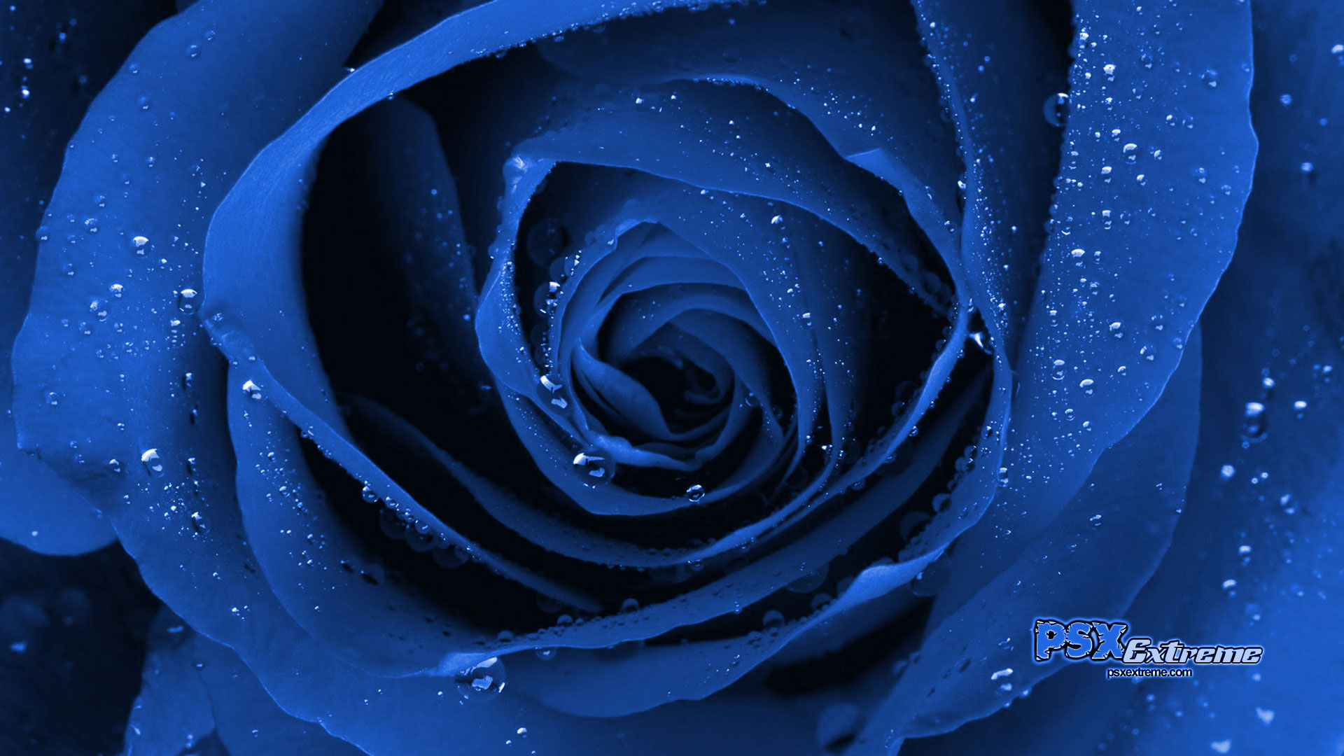 This is a Blue Rose wallpaper. This Blue Rose background can be used for