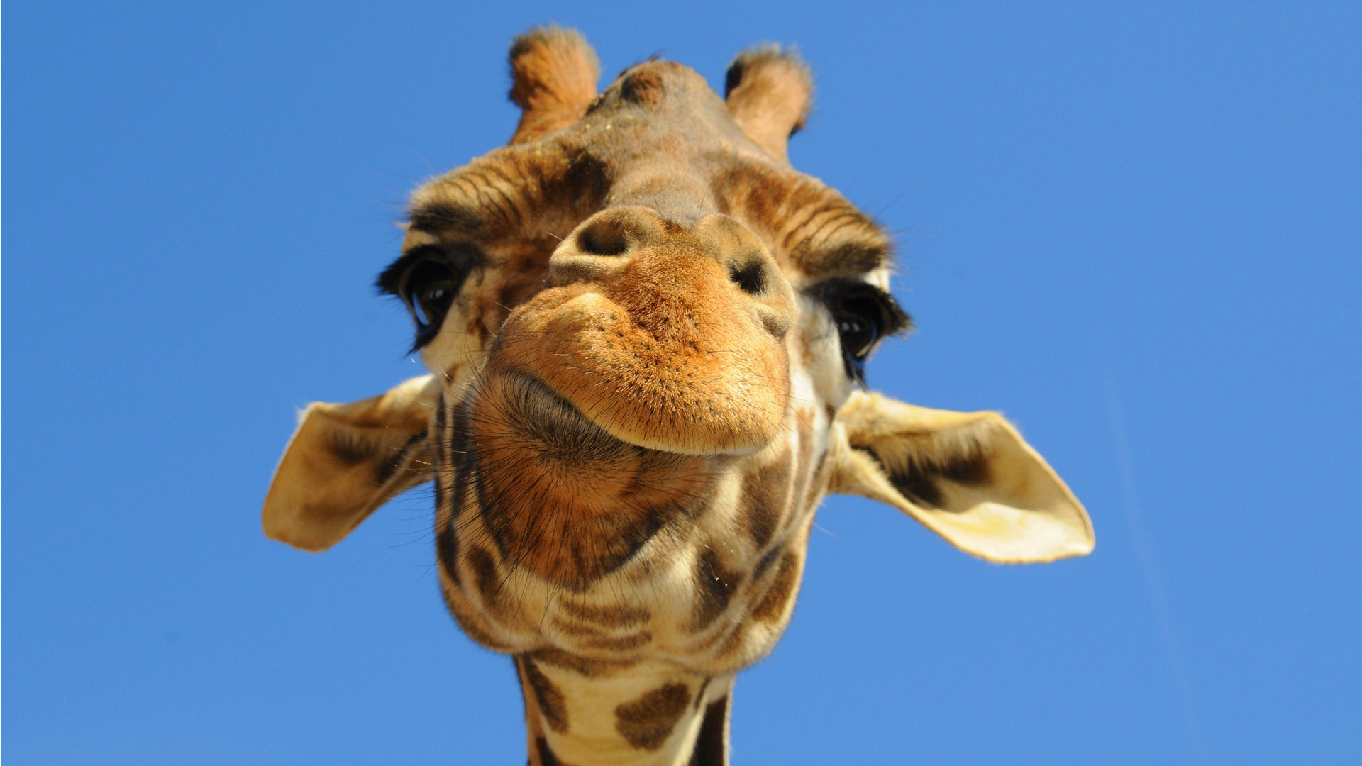 Disapproving Giraffe Wallpapers