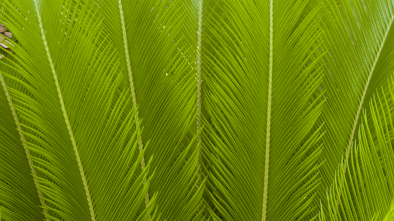 Ferns Wallpapers