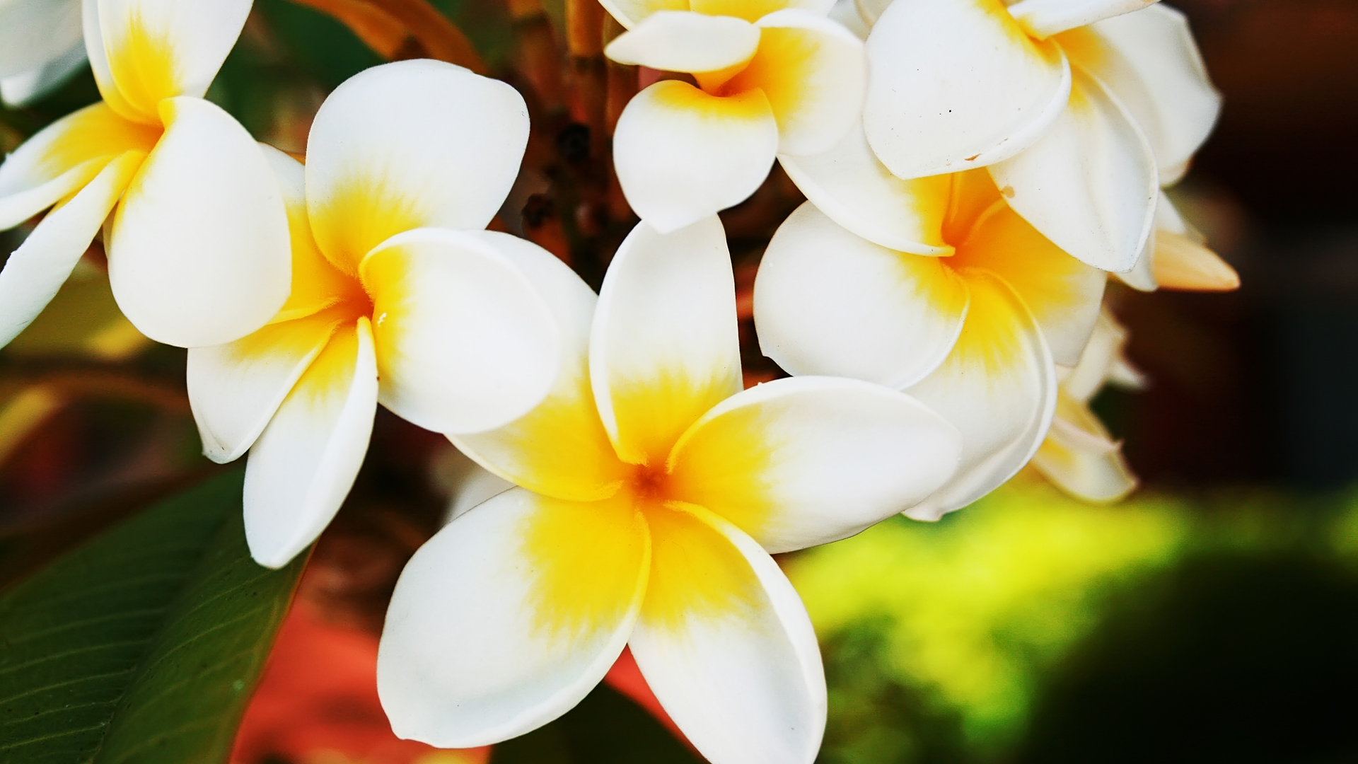 Frangipani Wallpapers