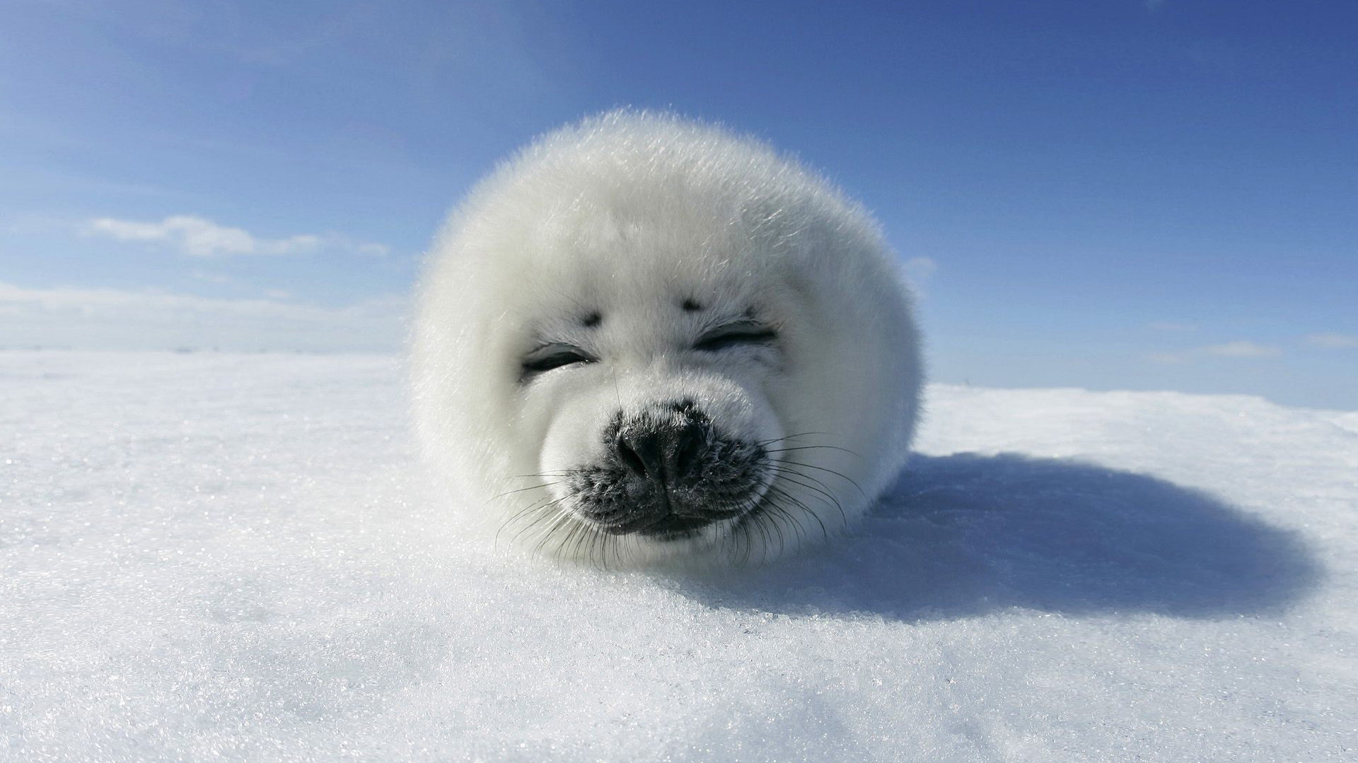 This is a Harp Seal wallpaper. This Harp Seal background can be used for
