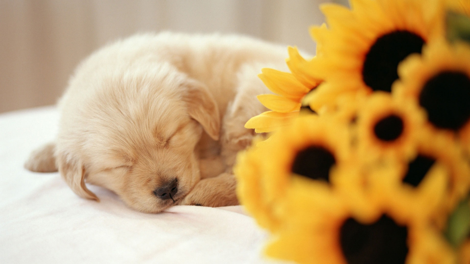 Sleeping Puppy Wallpapers
