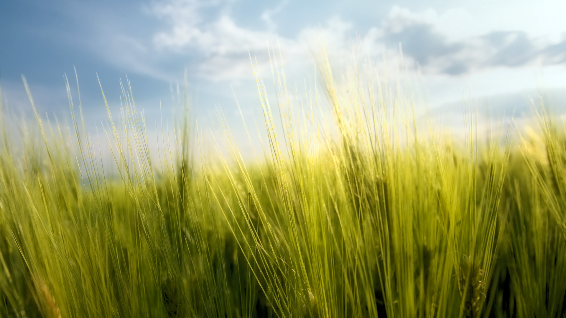Spring Wheat Wallpapers