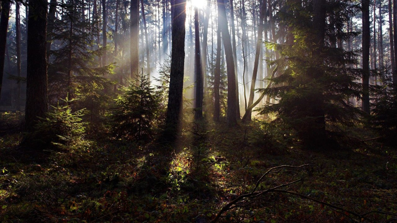 Sunlight in the Woods Wallpapers