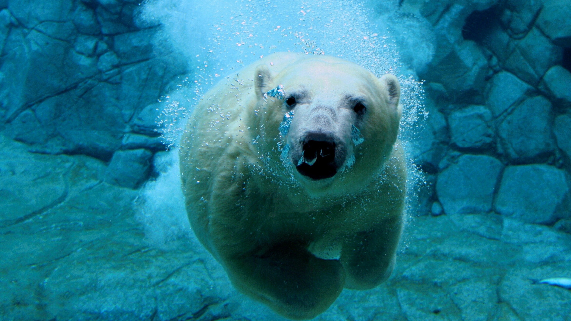 Swimming Polar Bear Wallpapers