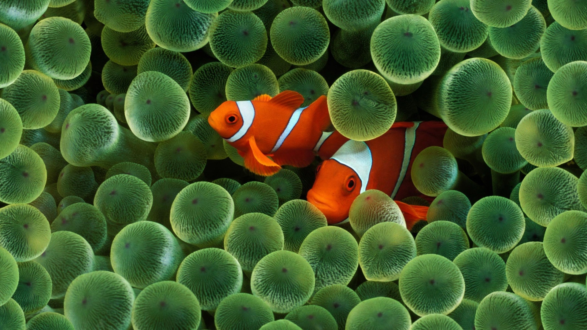 Two Colorful Fish Wallpapers