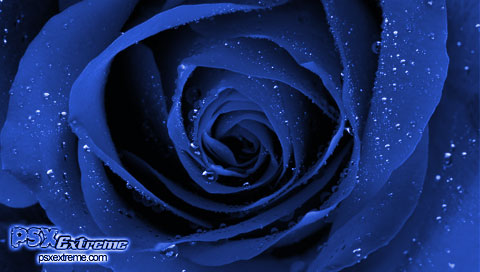 This is a Blue Rose PSP wallpaper. This Blue Rose PSP background can be used