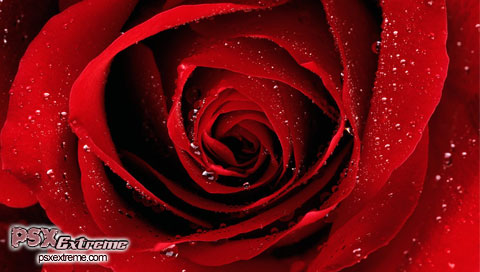 red wallpaper. Red Rose Wallpapers
