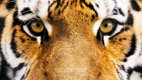 Tiger Eyes Wallpapers